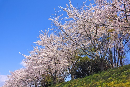 cherry-blossom_00400.jpg