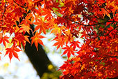 autumn-leaves_beiz_jp_T06923.jpg
