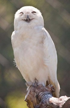 laughing-owls-23.jpg